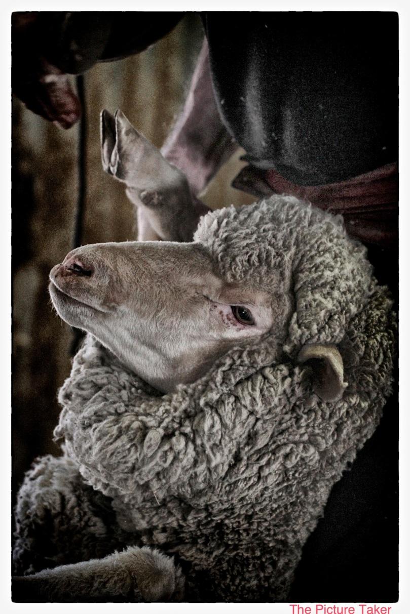 shearing-8