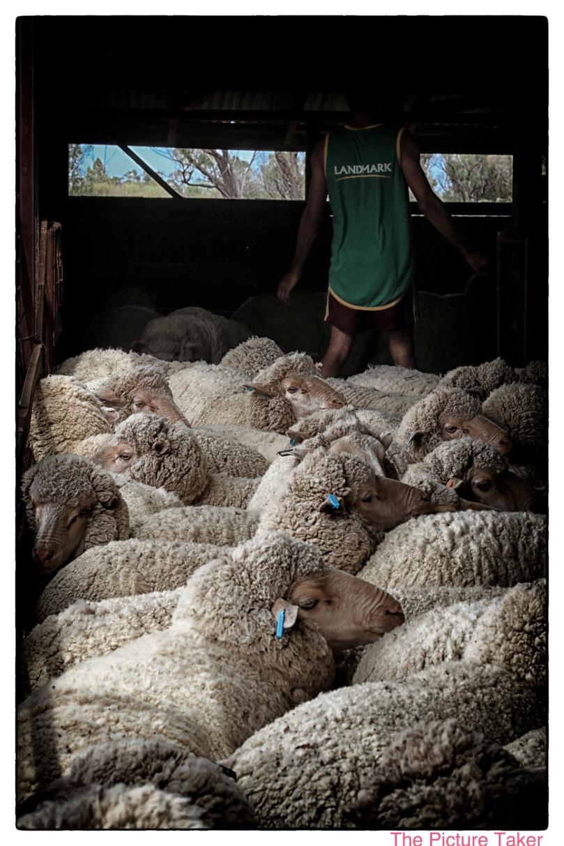 shearing-7